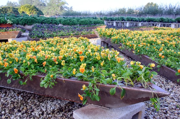 PHOTO: Giant planted triangles of blooming violas in the nursery.