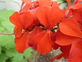 PHOTO: Pelargonium inquinans.