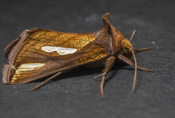 PHOTO: Plusia contexta (Connected looper moth).