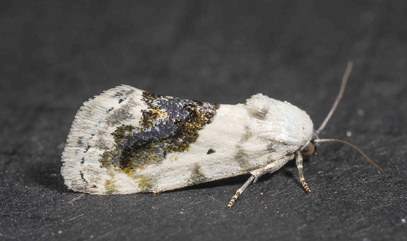 PHOTO: Ponometia erastrioides (Small bird-dropping moth).