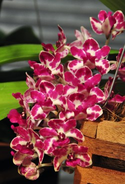 PHOTO: Rhynchostylis gigantea.