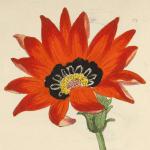 Rigid-leaved Gorteria featured