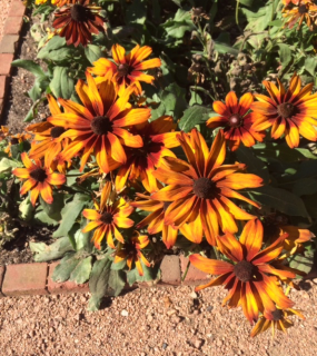 PHOTO: Rudbeckia hirta 'Autumn Colors'.