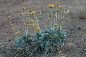 habit of Enceliopsis argophylla