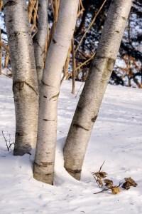 PHOTO: Birches in winter.