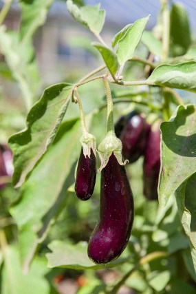 PHOTO: Eggplant