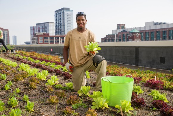 PHOTO: Stacey Kimmons, a crew member of Windy City Harvest, harvesting lettuce from the roof.