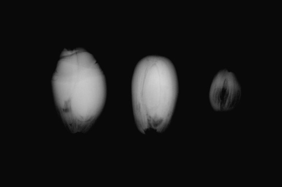 PHOTO: An x-ray view of titan arum fruit pollinated by Stinky (Denver Botanic Gardens, 2015).
