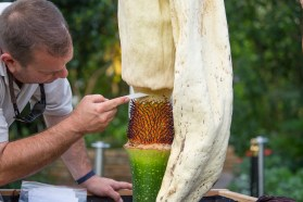 PHOTO: As the spadix collapses from age, horticulturist Tim Pollak harvests the pollen from Spike's male flowers.