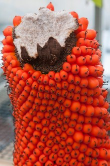 PHOTO: The remains of the spadix have been removed—showing its fibrous interior—as the titan arum's fruit continues to mature.