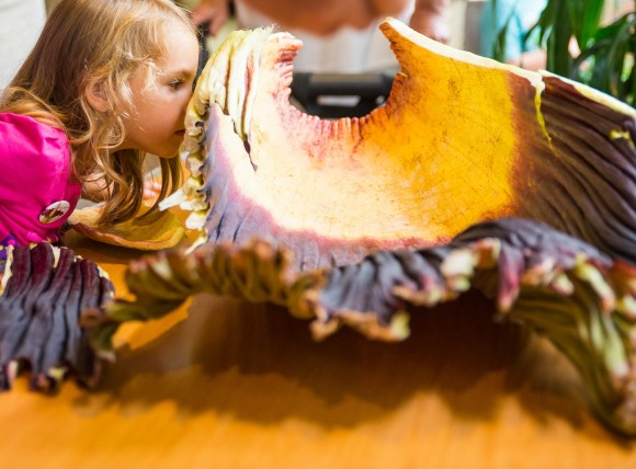 PHOTO: A young girl sniffs the titan arum's removed spathe.