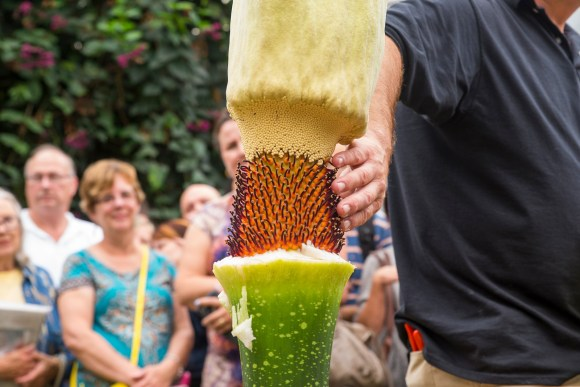 PHOTO: Tim Pollak and Dr. Shannon Still point out plant parts of the titan arum to the gathered crowd of visitors.