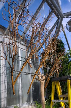PHOTO: A metal cage holding branches is suspended from the greenhouse's glass ceiling.