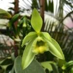 Vanilla planifolia before pollination