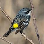 PHOTO: Yellow-rumped warbler