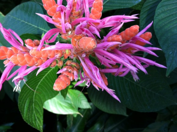 PHOTO: Panama Queen acanthus (Aphelandra sinclairiana 'Panama Queen')