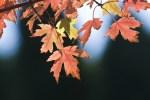 PHOTO: Autumn Blaze Freeman maple (Acer fremanii 'Jeffersred') in fall.