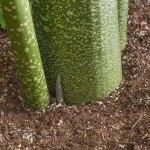amorphophallus-corpse-plant-stem