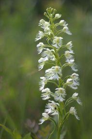 PHOTO: Eastern prairie fringed orchid (Platanthera leucophaea).