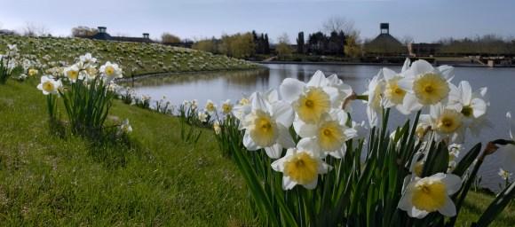 PHOTO: The Daffodils on Bird Island