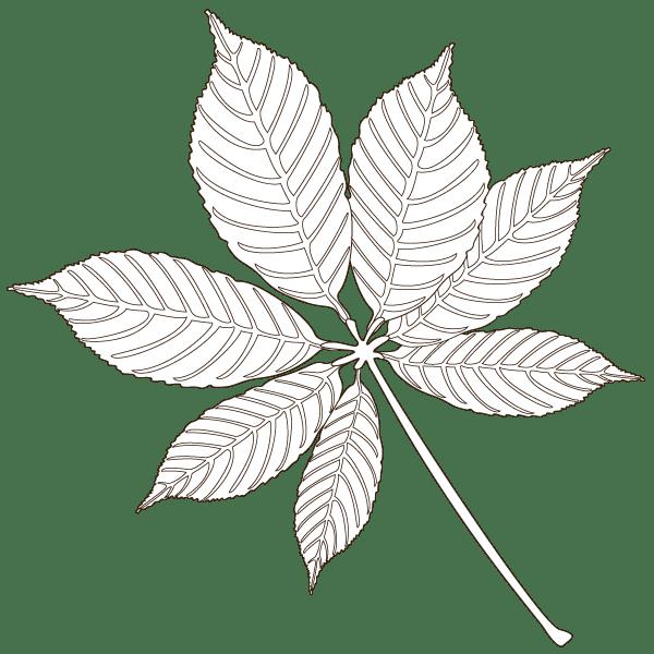 buckeye leaf