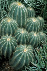 PHOTO: Peruvian apple cactus.