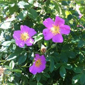 PHOTO: Roses in dappled sunlight.