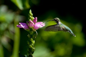 PHOTO: Hummingbird hovers for nectar from a pink turtlehead bloom.