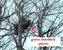 PHOTO: This close up of a squirrel drey has an arrow pointing to the green plastic sticking out of the bottom of the drey.