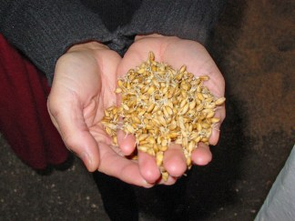 PHOTO: Hands holding partially germinated barley seeds.