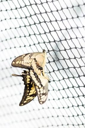 PHOTO: Butterflies mating.