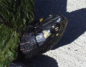 PHOTO: Ouachita map turtle