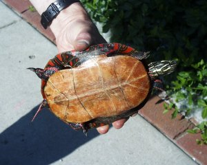 PHOTO: Western painted turtle.
