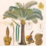 Sago palm from Ausländische Culturpflanzen in Farbigen Wandtafeln mit Ertläuterndem