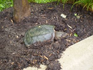 PHOTO: Snapping turtle laying eggs.