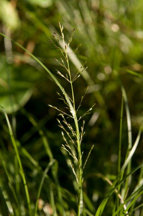 A single panicle of prairie dropseed.