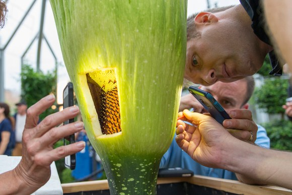 PHOTO: The flashlight apps of several cell phones light this morning's pollination activities. Dr. Shannon Still wields a paintbrush laden with pollen, brushing it lightly on the female flowers on the spadix.