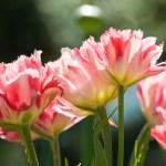 PHOTO: Tulipa 'Crispion Sweet'