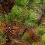 winter-burned-pine