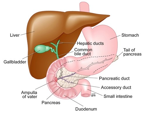 Bile Duct Injuries During Gallbladder Surgery Cleveland Clinic