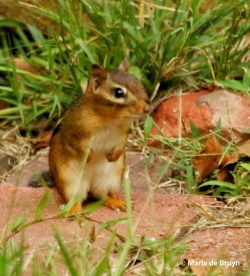 Small Of How To Kill Chipmunks