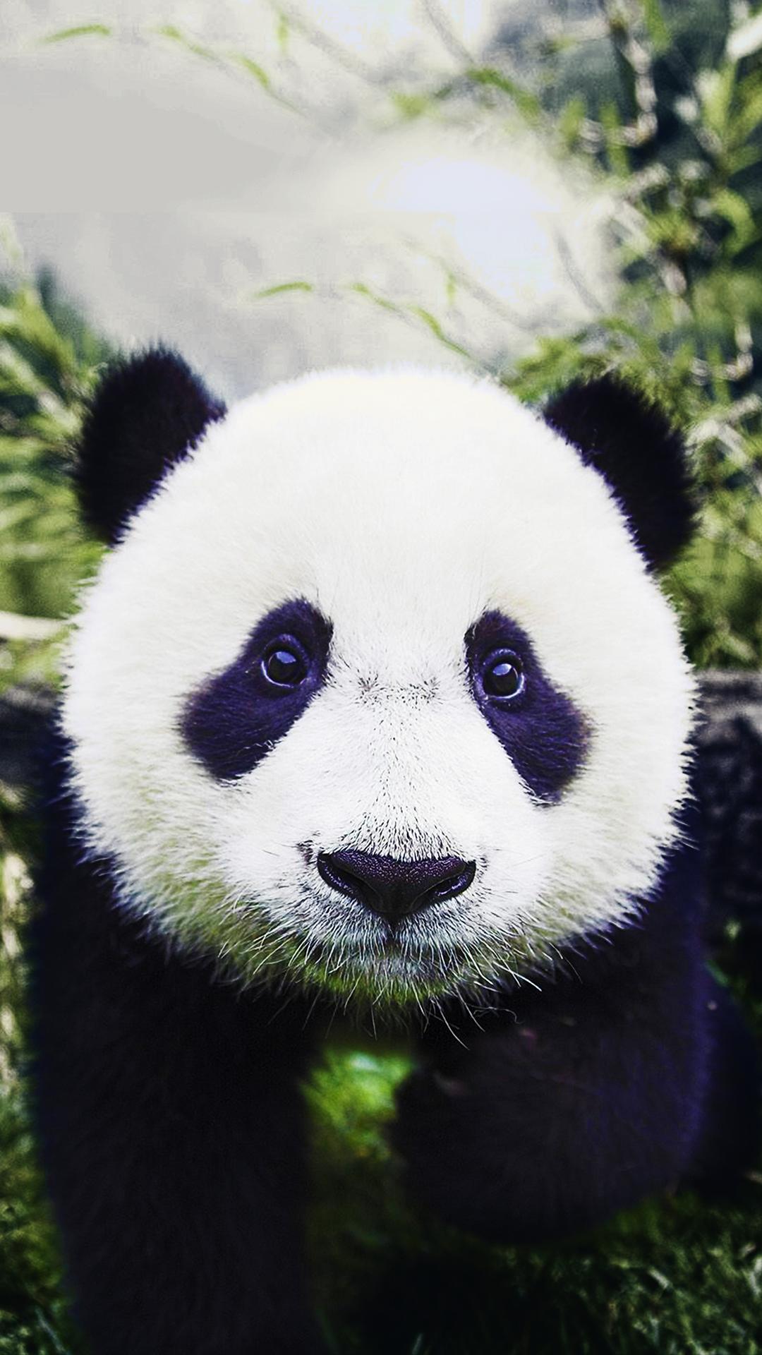 Cute Crisp Wallpapers Free Hd Baby Panda Phone Wallpaper 6851