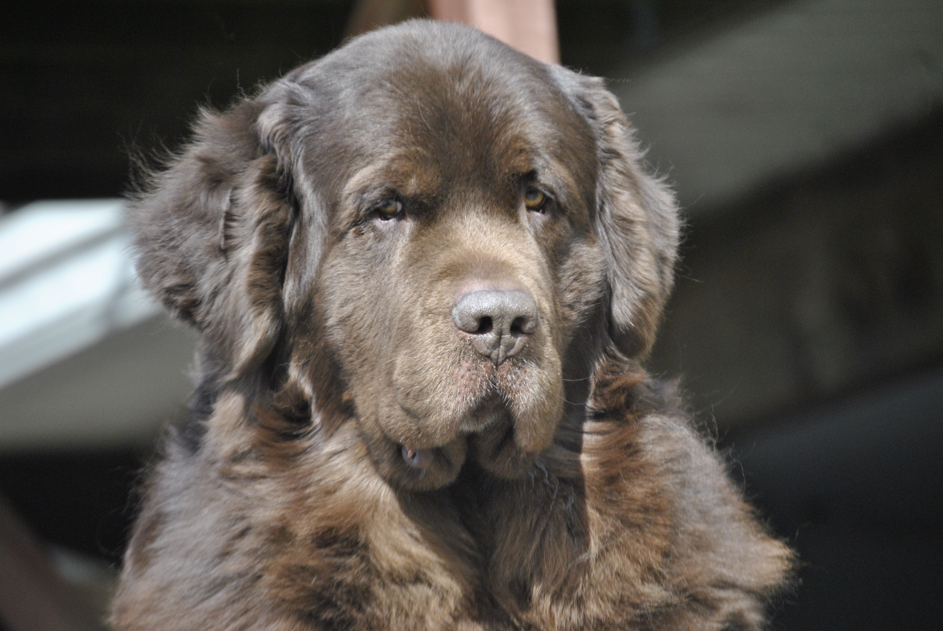 Garage Heater For Dogs To Groom Or Not To Groom Is Not The Question My Brown Newfies