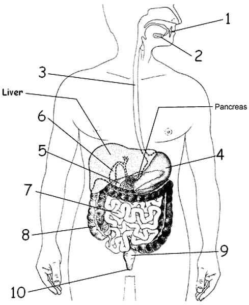 digestion diagrams to label