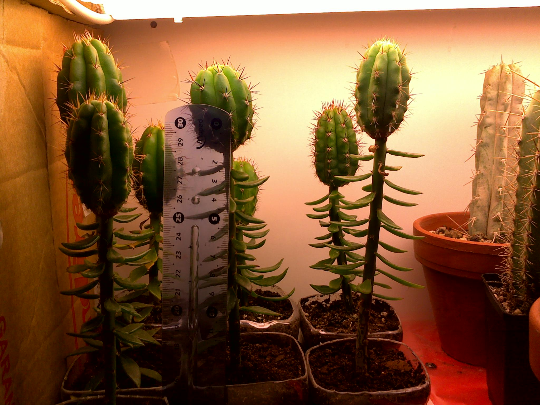 Cactus Verlichting Cactus Lighting Botanicals Mycotopia