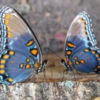 Serial Dater Pupates to Social Butterfly
