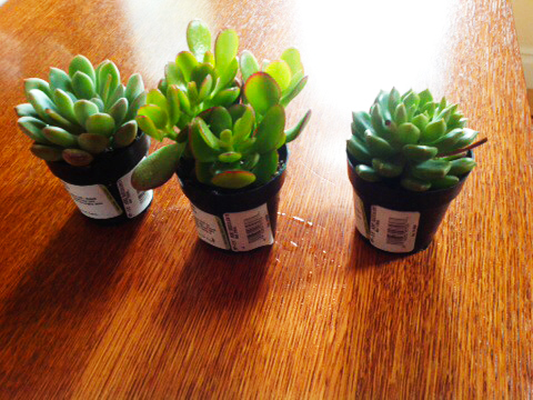 Store Bought Succulents