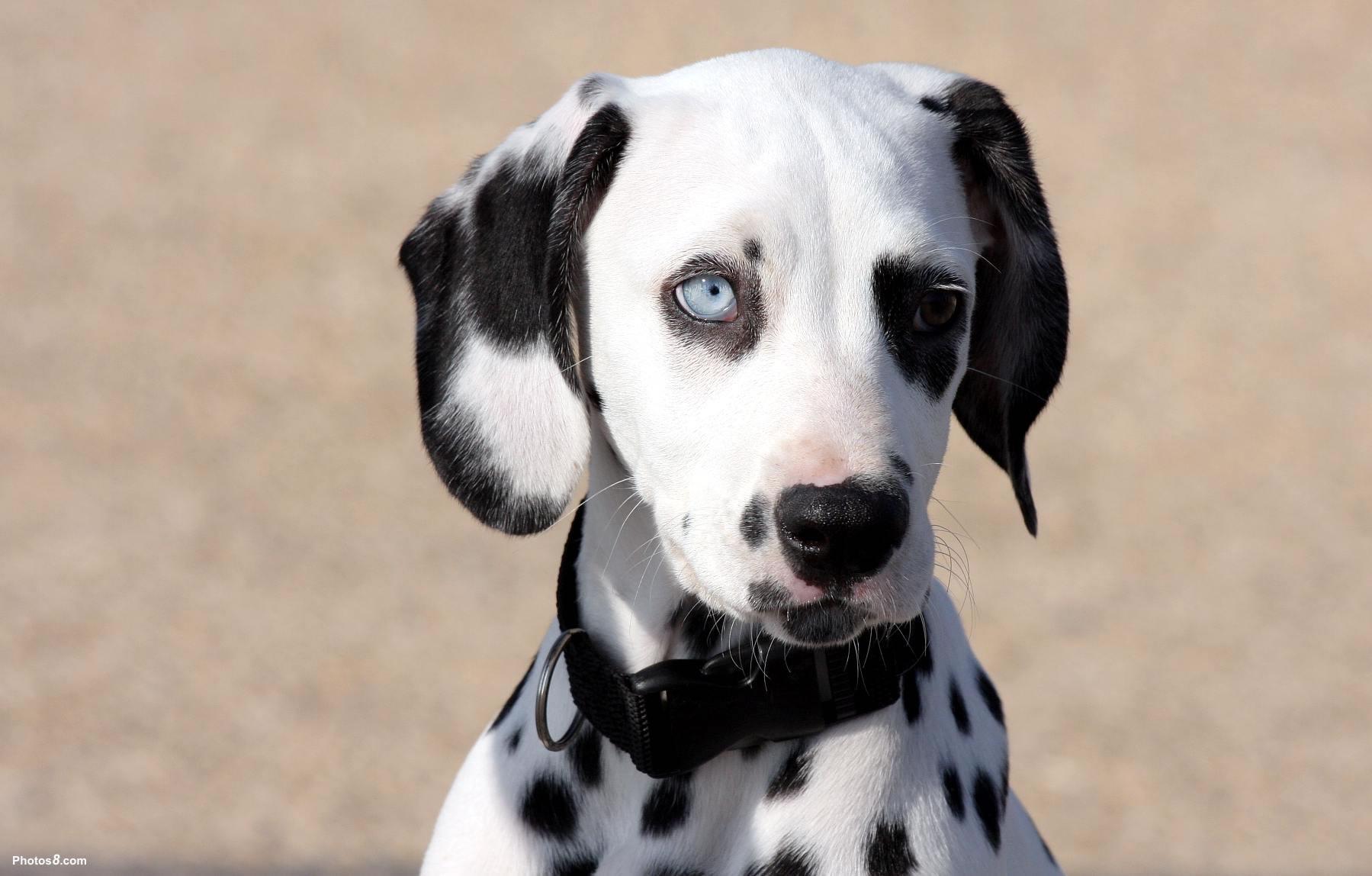 Cute Baby Blue Eyes Wallpaper Dalmatian My Doggy Rocks