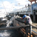 Yearling Coho salmon being delivered to net pen