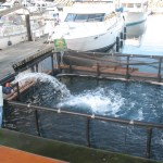 Yearling Coho going into the imprint net pen on the Edmonds waterfront. (Photos courtesy of Edmonds Salmon Chapter Trout Unlimited)